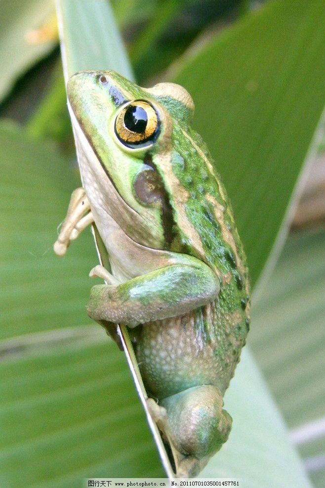 青蛙 动物摄影 动物图片 两栖动物 哈蟆 蛙类图片 动物素材 青蛙图集