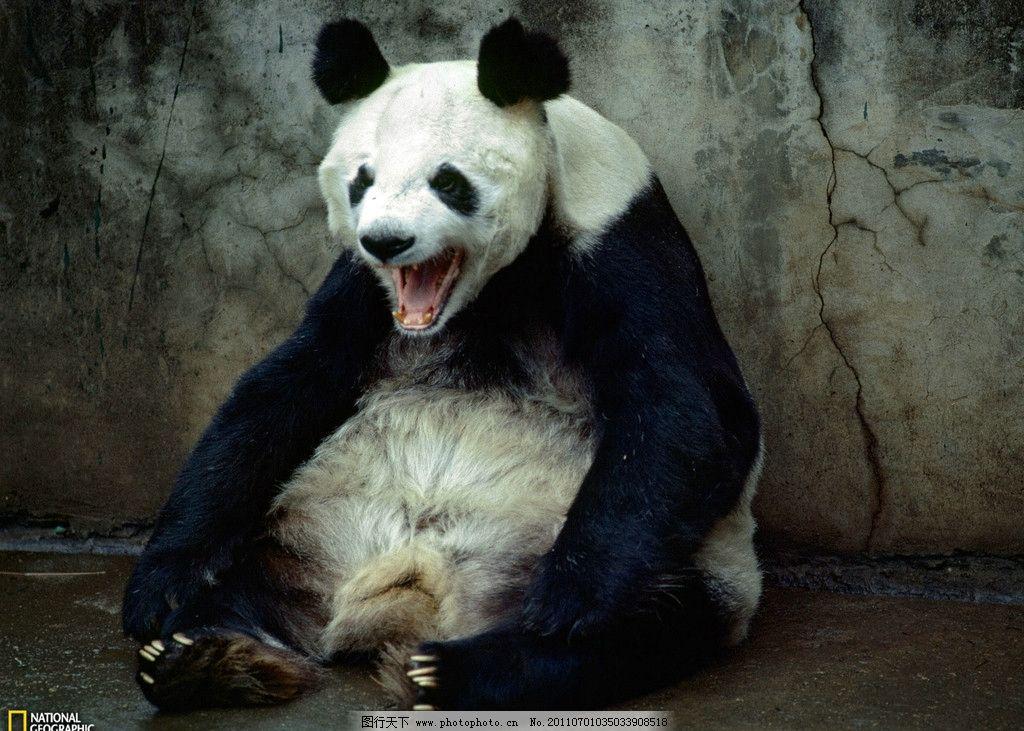 国宝 熊猫 野生动物 生物世界 摄影 72dpi jpg