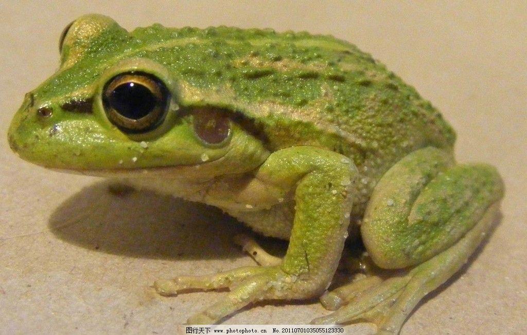 动物摄影 动物图片 野生动物 两栖动物 蛙 哈蟆 蛙类图片 动物素材