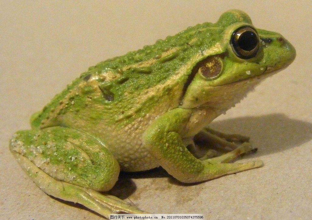 青蛙 动物摄影 动物图片 野生动物 两栖动物 蛙 哈蟆 蛙类图片 动物素
