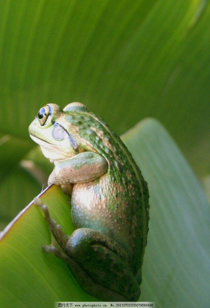 青蛙 动物摄影 动物图片 野生动物 两栖动物 蛙 哈蟆 蛙类图片 动物
