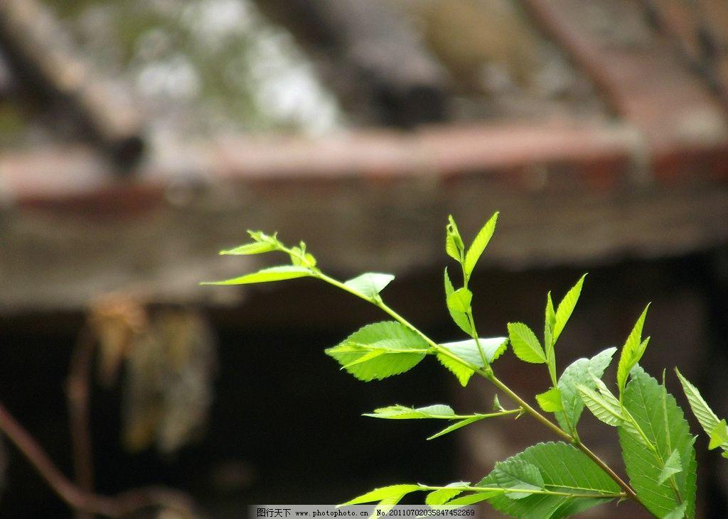榆树叶子图片