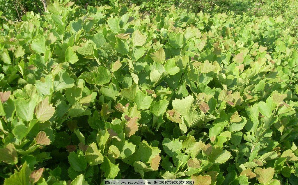 榛子树 榛子 坚果 棰子 营养 补品 树木树叶 生物世界 摄影 96dpi jpg