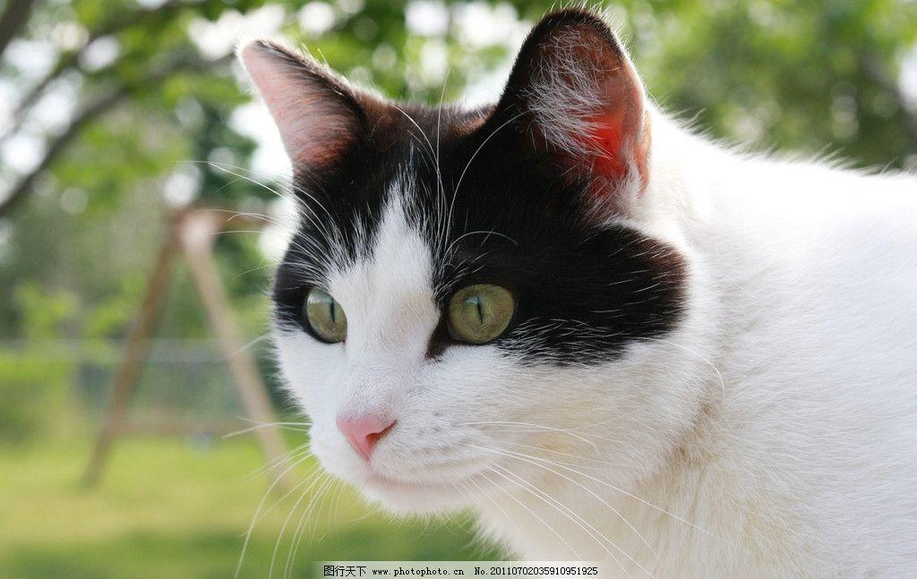 家猫 动物摄影 宠物 猫 小猫 猫咪 小猫图片 家禽家畜 可爱的猫 生物