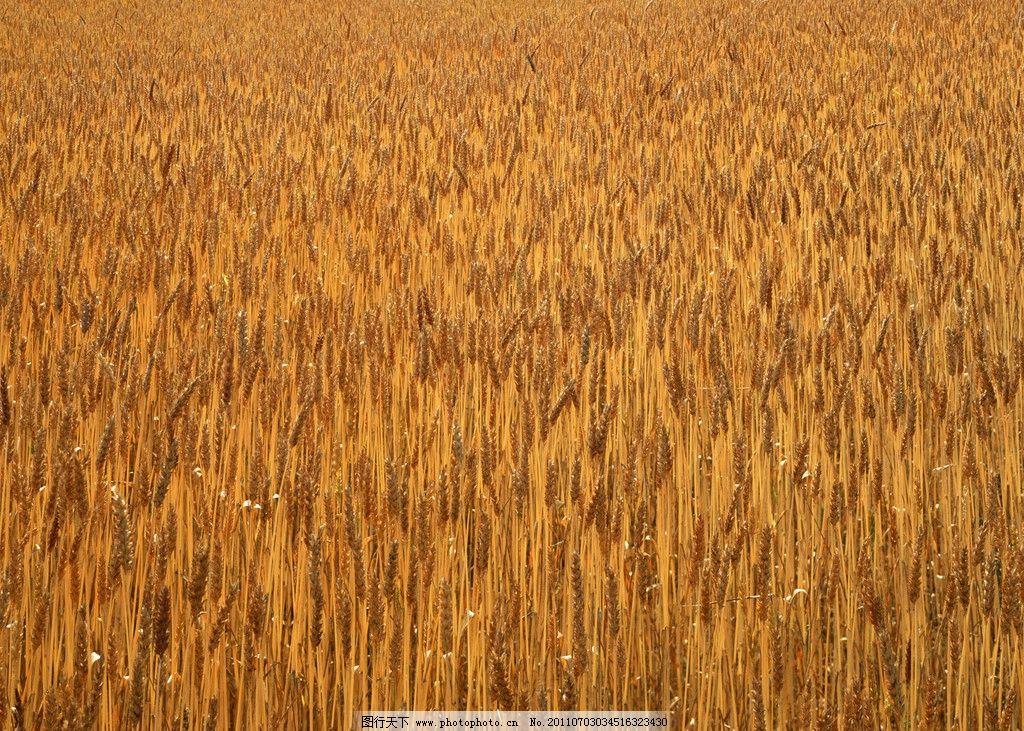 麦田 麦子地 麦子 麦穗 成熟的麦子 秋收 农田 丰收 田园风光 自然