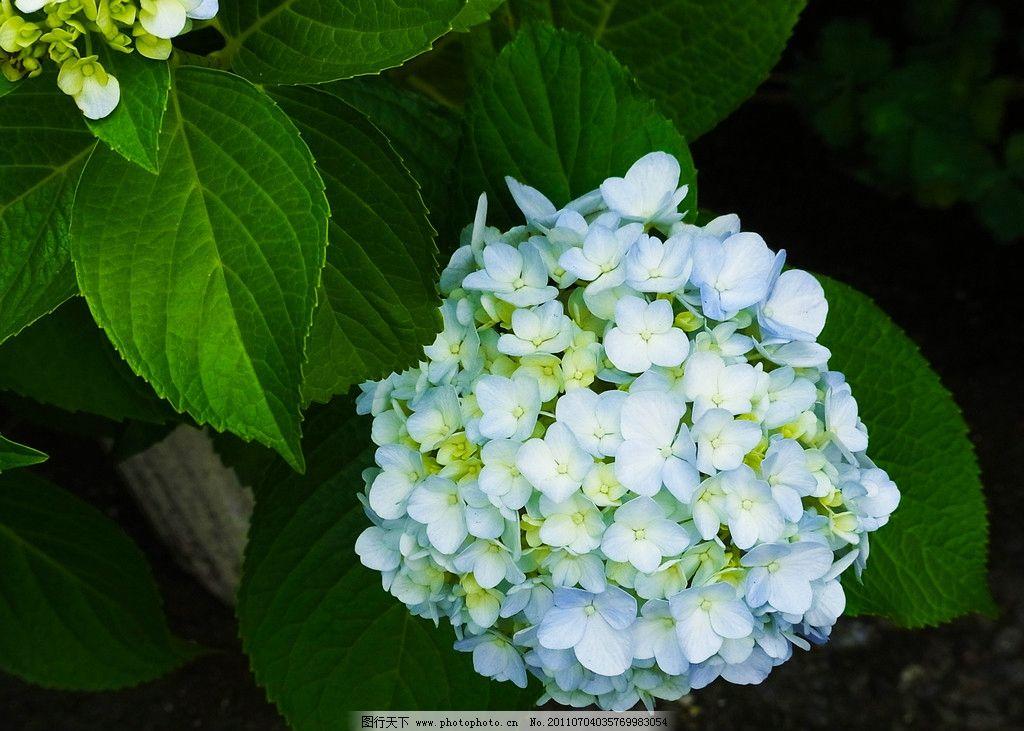 绣球花 蓝色绣球花 紫阳花