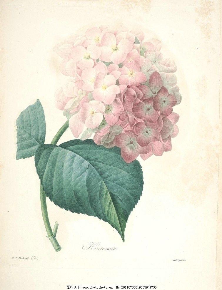 绣球花 绣球 花 植物 画 绘画书法 文化艺术 设计 72dpi jpg