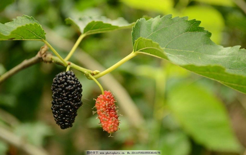 桑葚 桑果 桑树 树叶 叶子 水果 生物世界 摄影 300dpi jpg