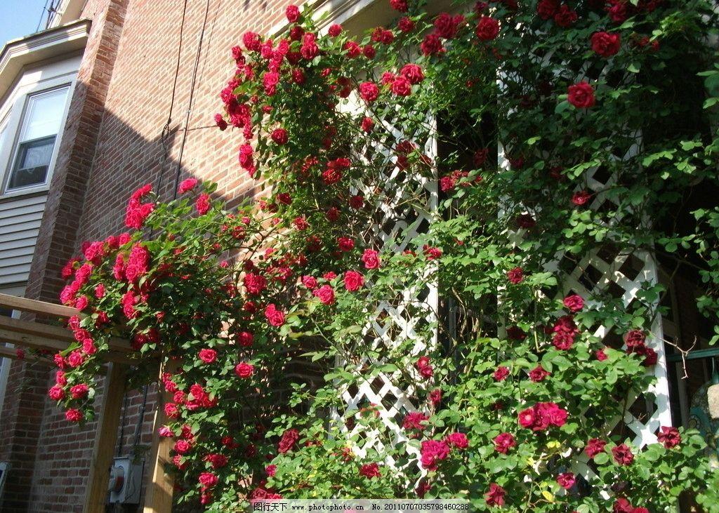 蔷薇 藤蔓 植物 花卉 攀爬 攀缘 园艺 花草 生物世界 摄影 72dpi jpg
