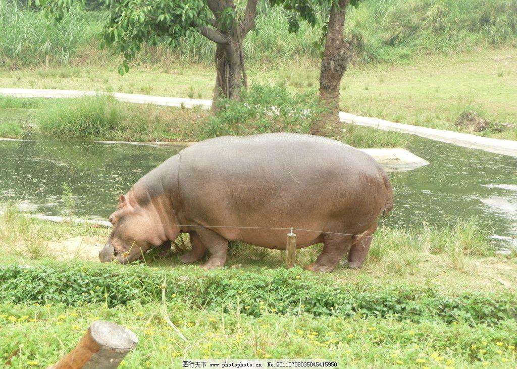 河马 可爱的河马 大河马 野生动物 生物世界 摄影图库 摄影 180dpi
