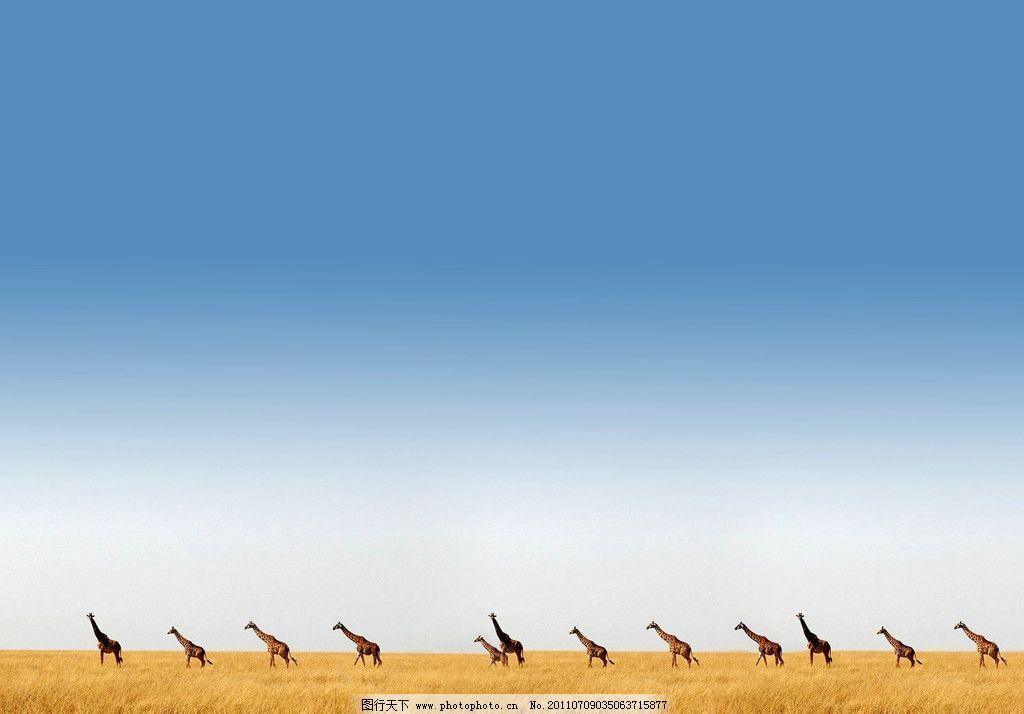 草原背景 草原 背景 鹿群 蓝天 白云 野生动物 生物世界 摄影 72dpi j