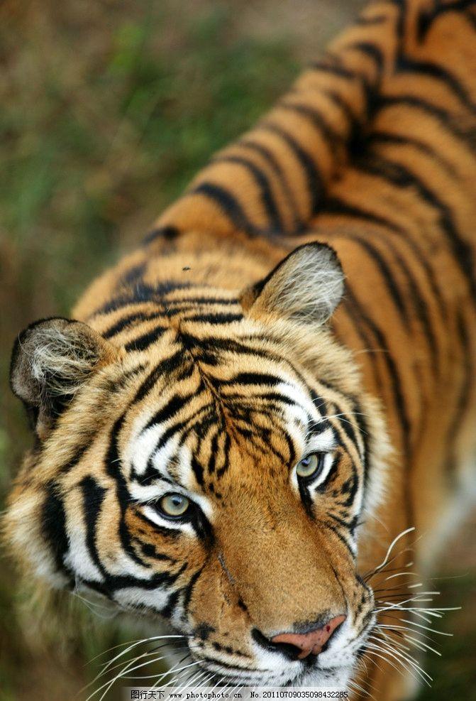 东北虎 老虎 摄影 动物世界