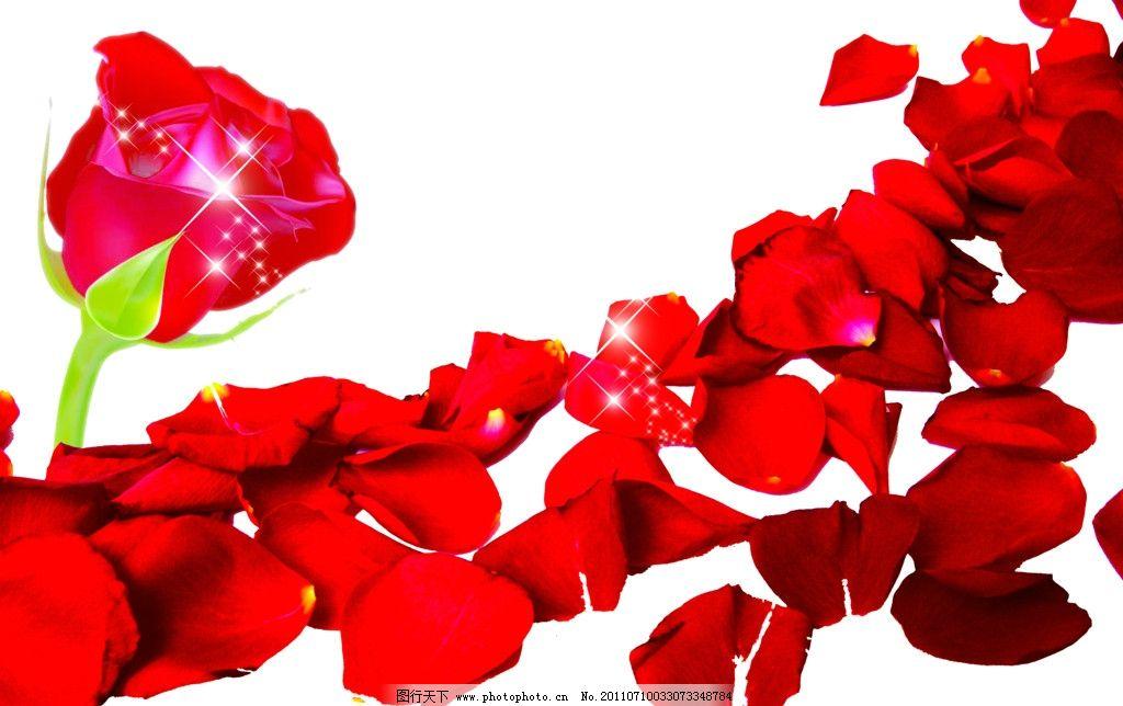 红玫瑰 玫瑰花 玫瑰 花 绿叶 花朵 花瓣 情人节 浪漫 唯美 花素材 psd