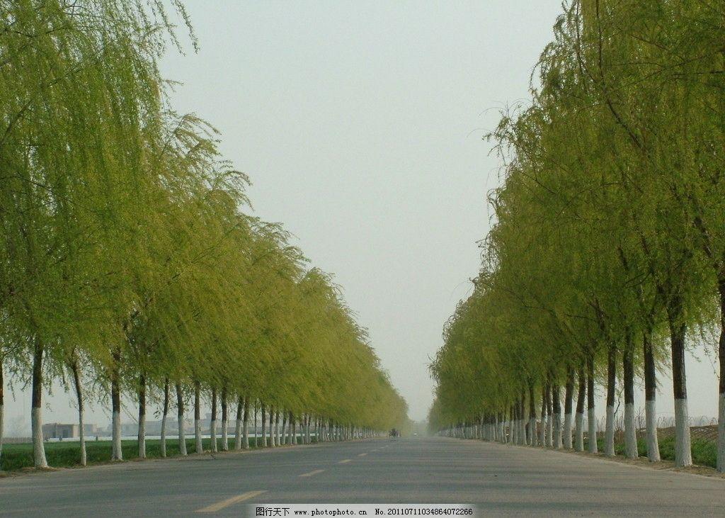 柳树 春天 发芽 柳枝 春色 树木 天空 树木树叶 生物世界 摄影 自然