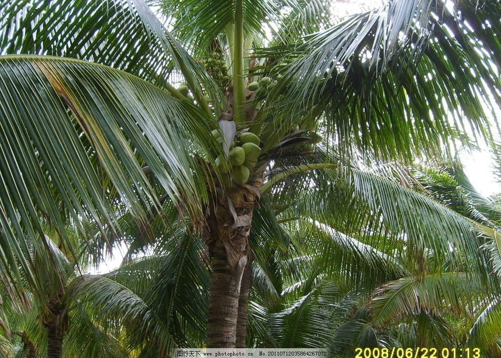 椰子树 未熟 椰子 树木树叶 生物世界 摄影 96dpi jpg