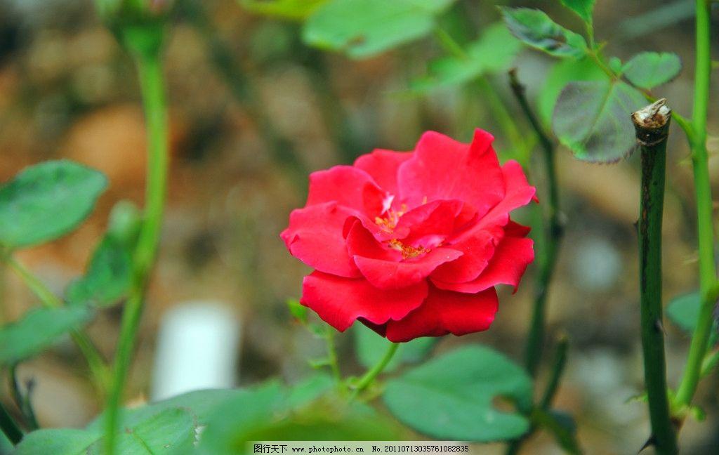 花开宝贵 月季 鲜花 绿叶 风景 红花 月月红 月季花 叶子 摄影