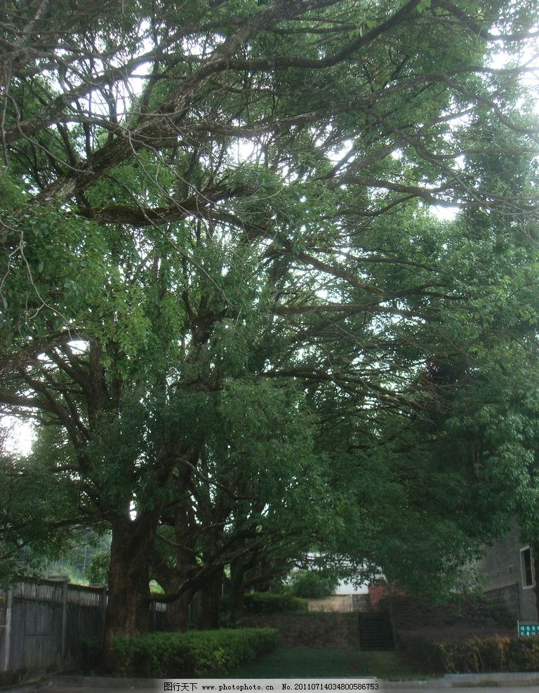 参天大树 冬青树 围墙 房子 台阶 广告牌 自然风景 自然景观 摄影 72