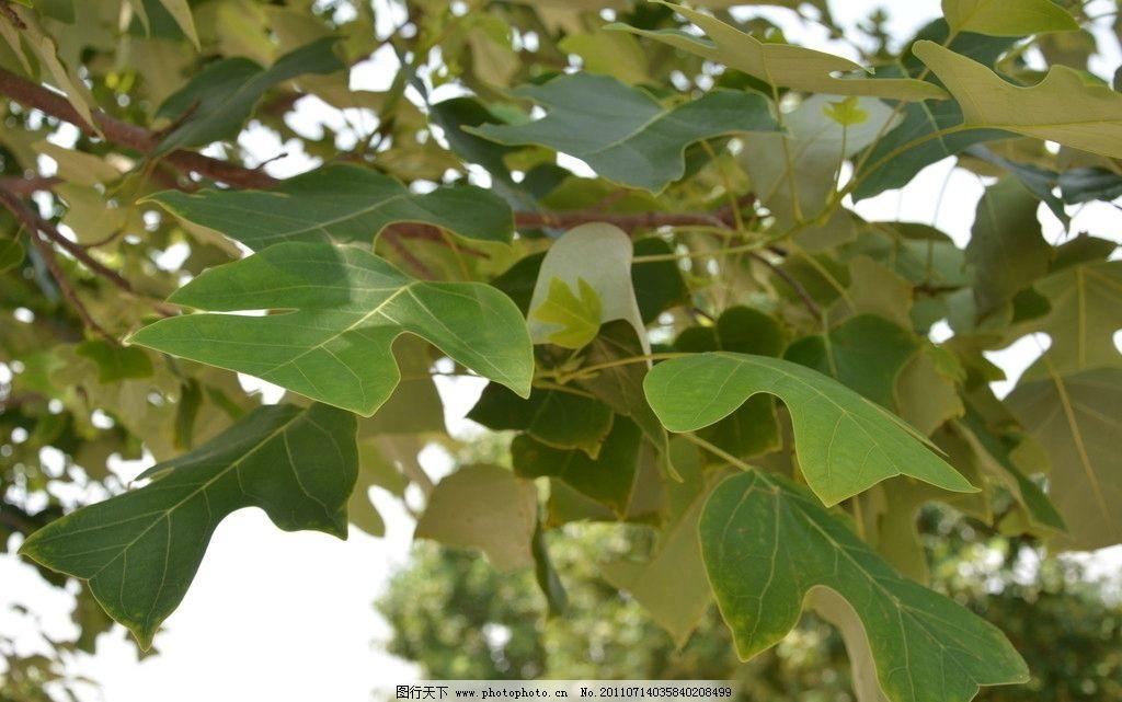 鹅掌楸树叶图片