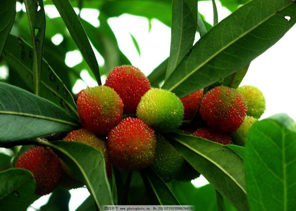 杨梅 甜味 绿叶 梅子 果实 杨梅树 叶子 水果 生物世界 摄影 300dpi