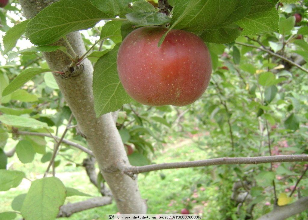 苹果 水果 红苹果 果树