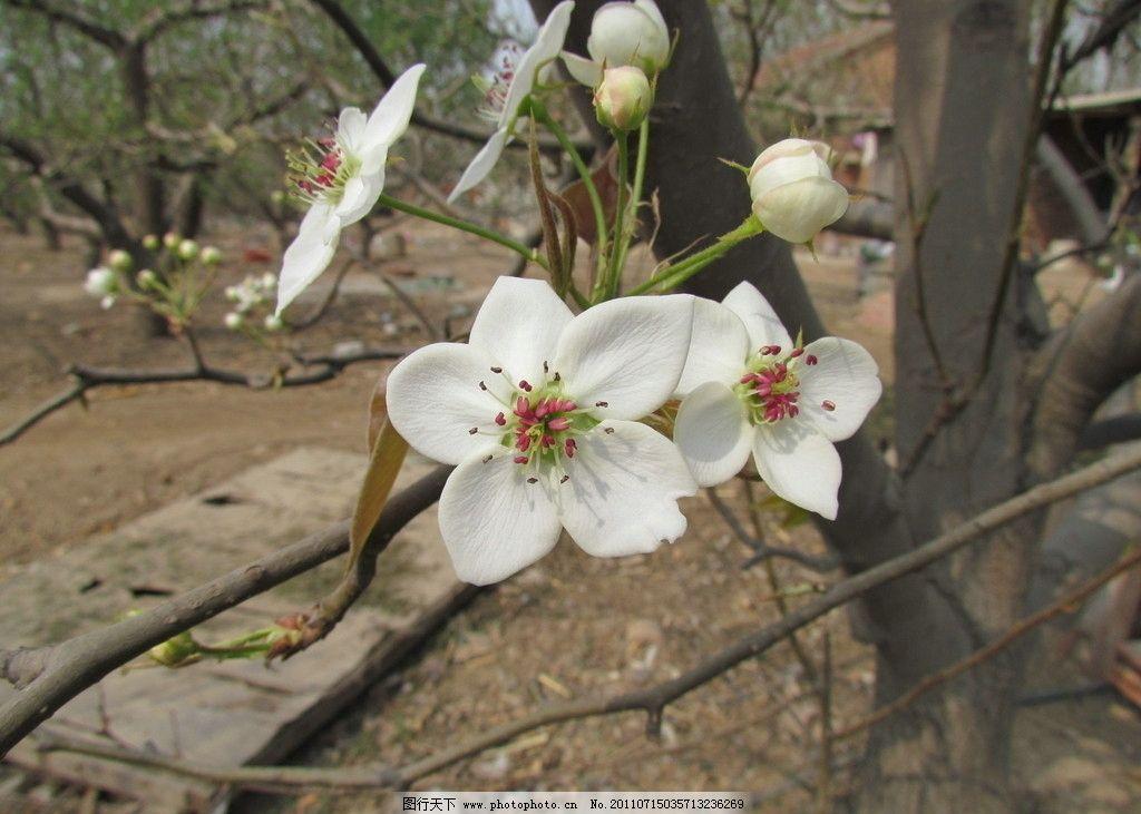 梨花梨树 梨花 梨树 春天 花草 果树 果园 绽放 洁白 盛开 生物世界