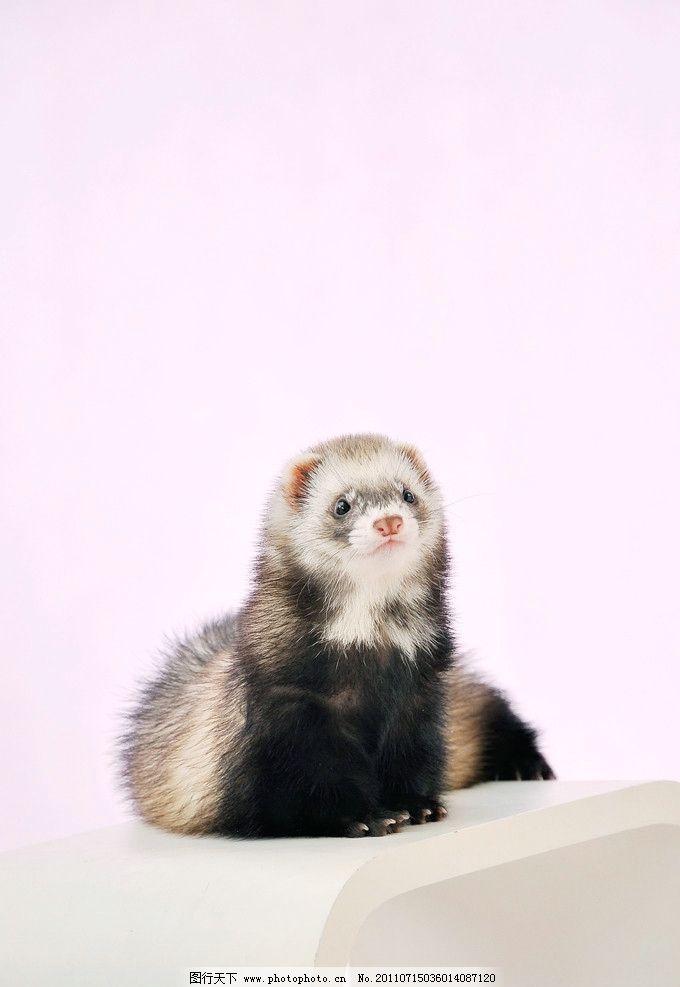 宠物貂 貂 白色 可爱 动物 毛茸茸 宠物 粉色 沙发 其他生物 生物世界