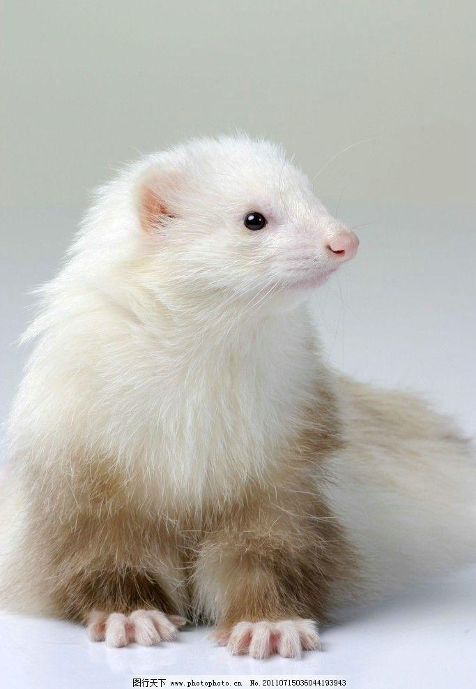 宠物貂 貂 白色 可爱 动物 毛茸茸 宠物 其他生物 生物世界 摄影 180d