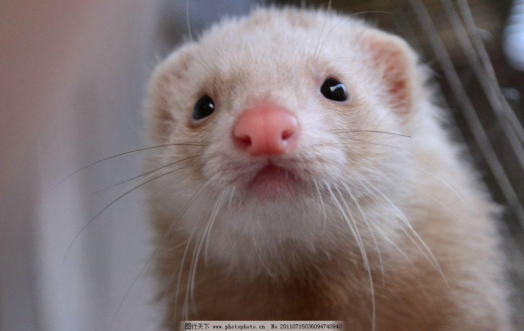 宠物貂 白色 可爱 动物 毛茸茸 其他生物 摄影