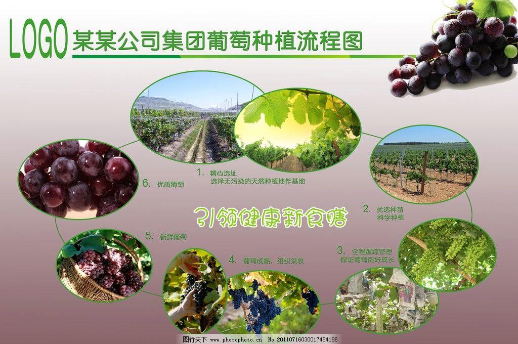 葡萄种植流程图图片