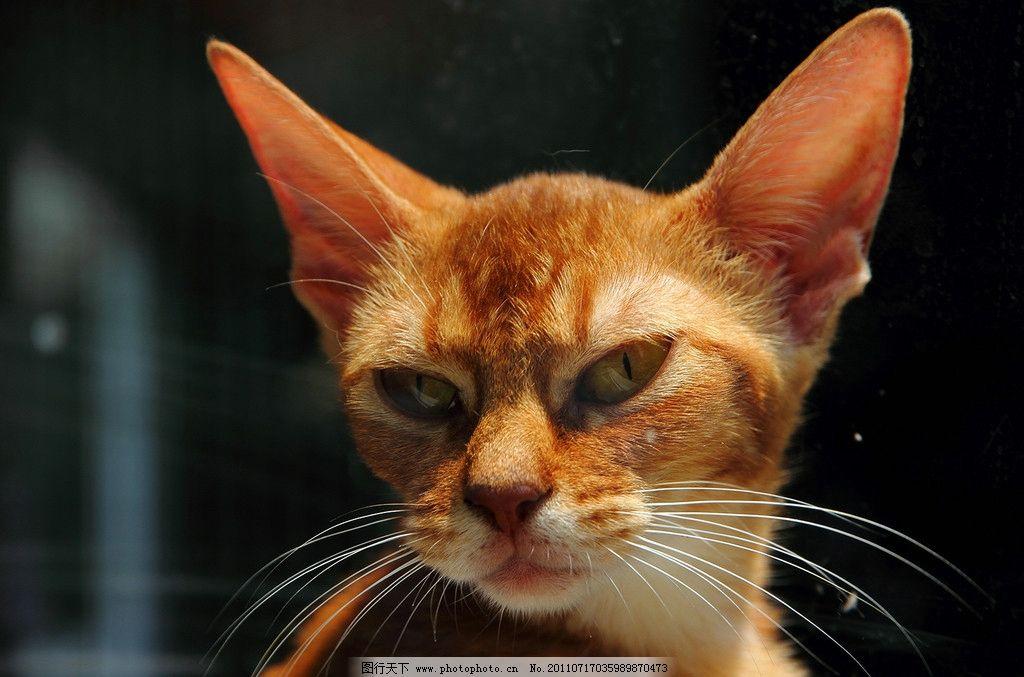猫猫 猫头 家禽家畜 生物世界 摄影 350dpi jpg