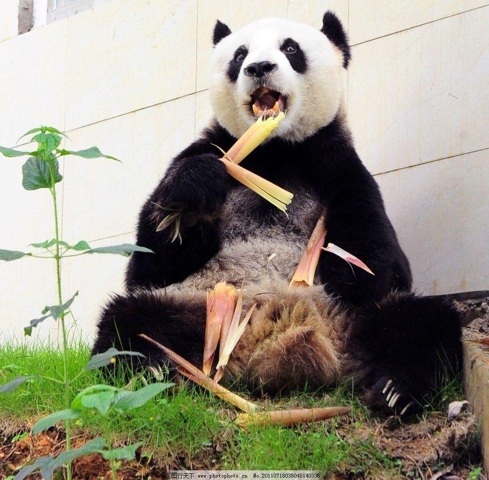熊猫进食 熊猫 竹子 就餐 动物 动物世界 野生动物 生物世界 摄影 300