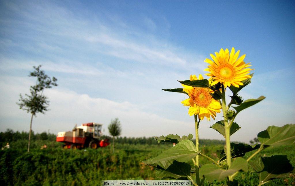 阳光向日葵图片
