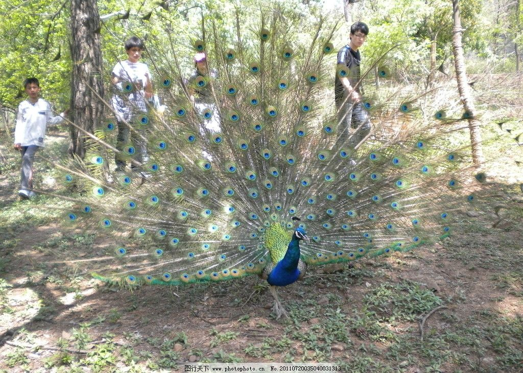 孔雀开屏 孔雀 野生动物 生物世界 摄影 300dpi jpg