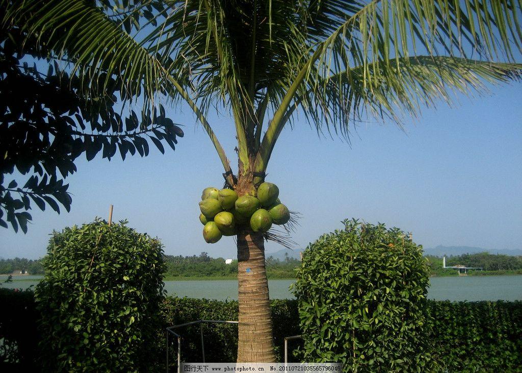 椰子树 椰子 热带植物 热带水果 叶子 果实 水果 生物世界 摄影 180