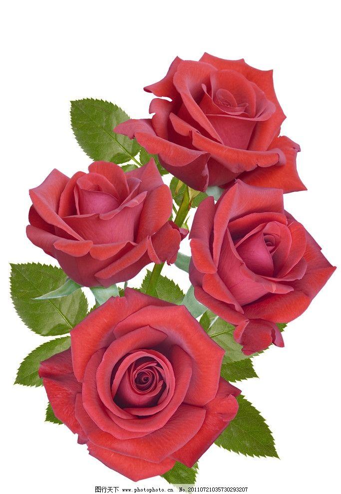 娇艳的红色玫瑰花图片图片