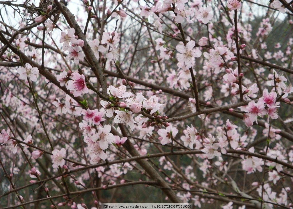 桃花 桃树枝条