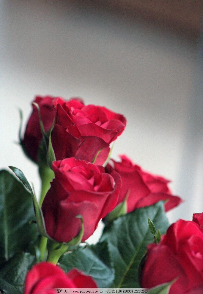 玫瑰花 花 花朵 花素材 红玫瑰 花苞 高清玫瑰花 花草 生物世界 摄影图片