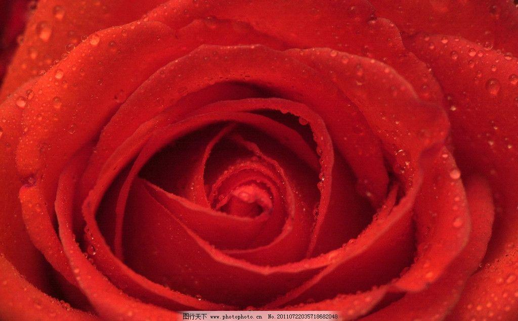 玫瑰花 花朵 花素材 红玫瑰 花苞 高清玫瑰花 花草 生物世界