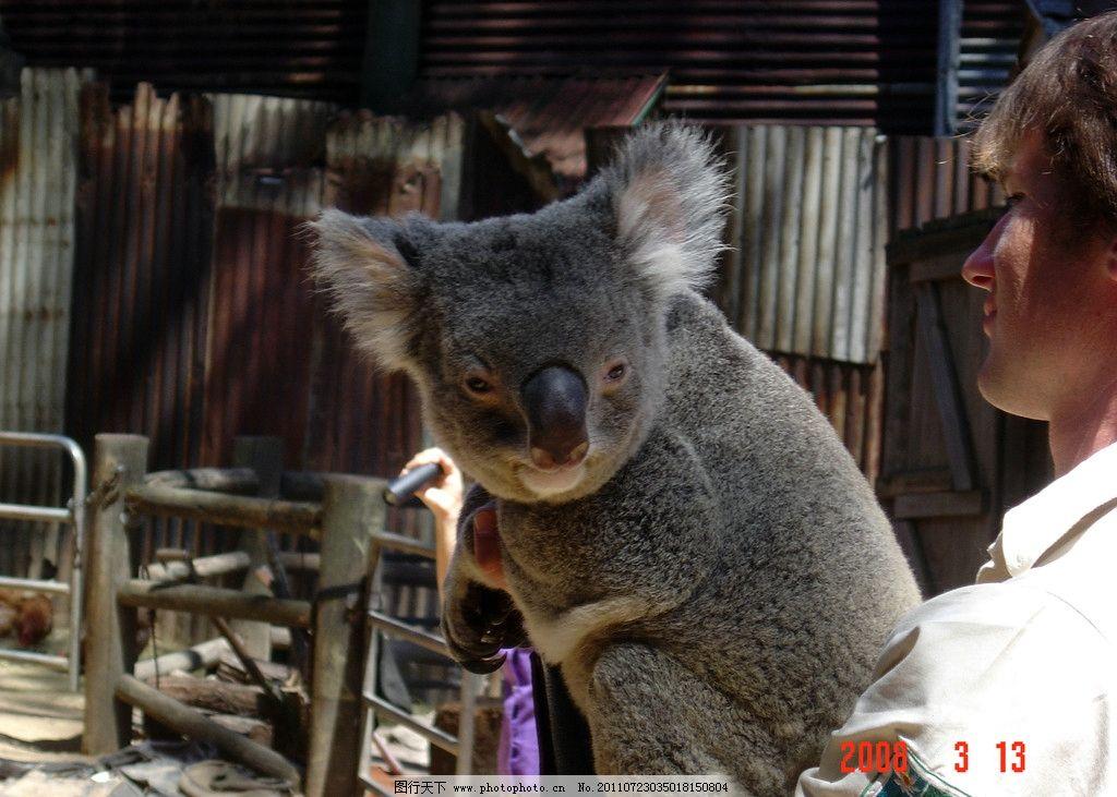澳洲考拉 澳洲 考拉 国宝 无尾熊 野生动物 生物世界 摄影 72dpi jpg
