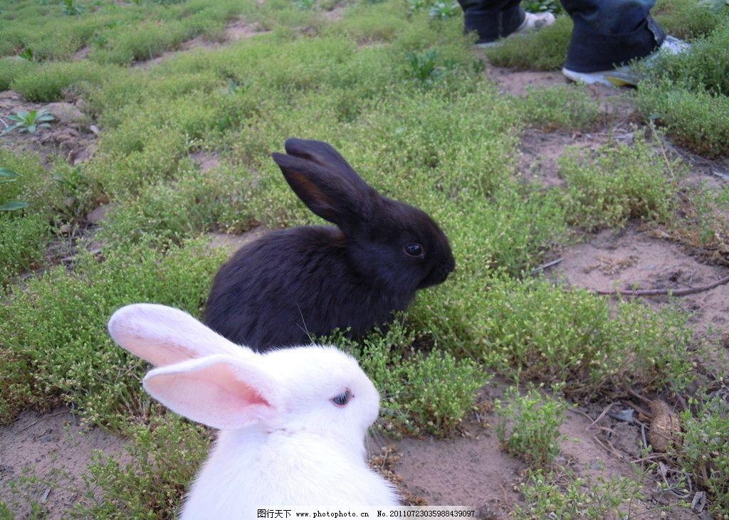 两只小兔子 小白兔