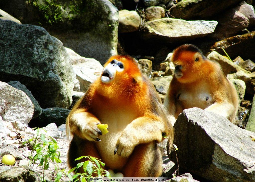 金丝猴 猴子 猴群 保护动物 野生动物 生物世界 摄影 300dpi jpg