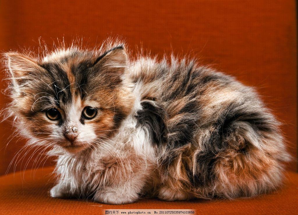 小猫图片,室内 红色 可爱 可爱动物 摄影-图行天下图库