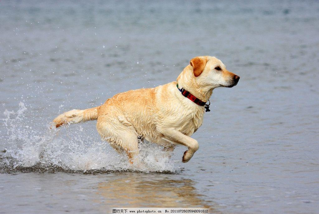 奔路的狗 狗 水中奔跑 黄色 水花 河 可爱动物 家禽家畜 生物世界