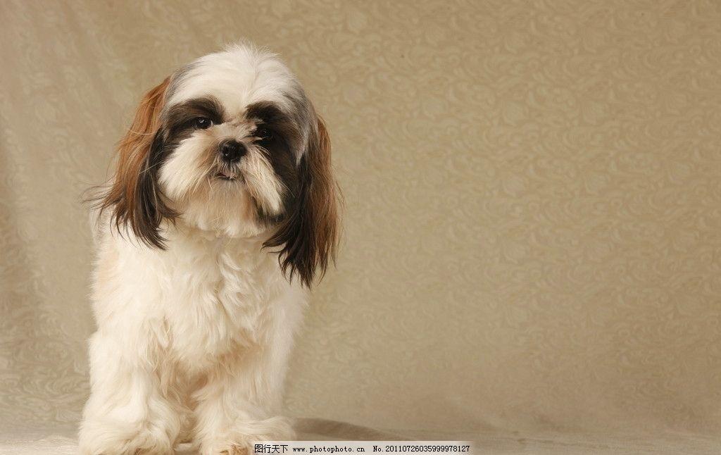 可爱宠物 西施犬 可爱小狗 动物 狗 可爱 活泼 朋友 饲养 宠物 健康