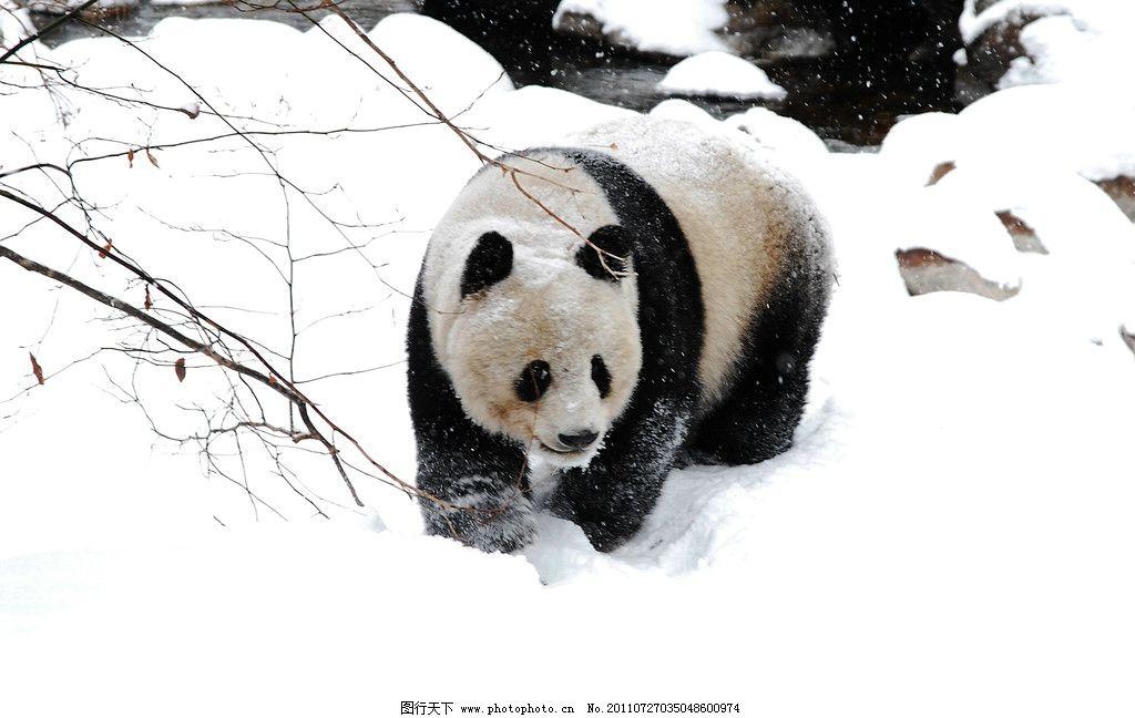 大熊猫 动物 国宝 雪景 摄影