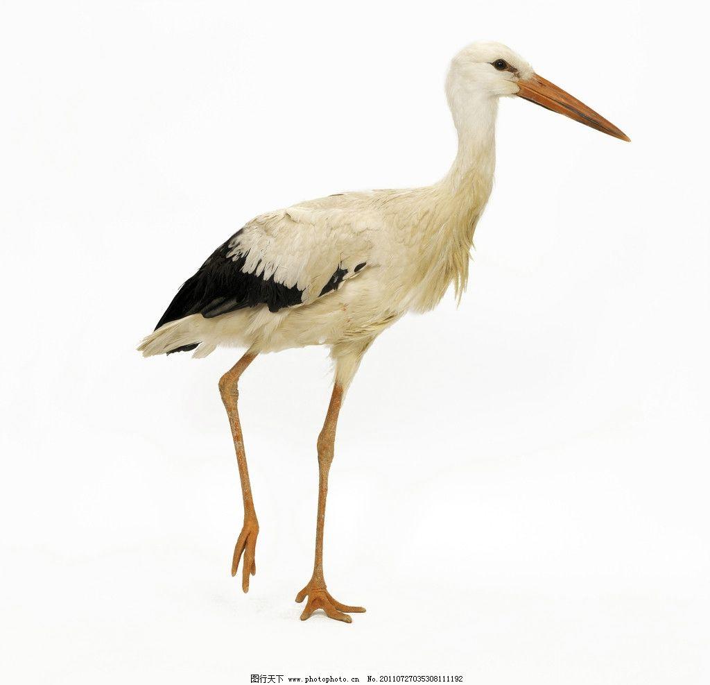 丹顶鹤 鹤 鸟 黑色 白色 动物 尖嘴 长脚 生物世界 飞行 照片 写真
