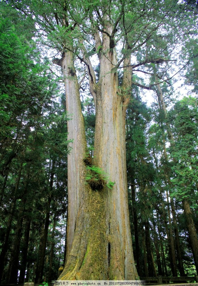 参天大树 风景 蓝天 白云 背景 摄影 美景 青山 绿树 森林 树干 树木