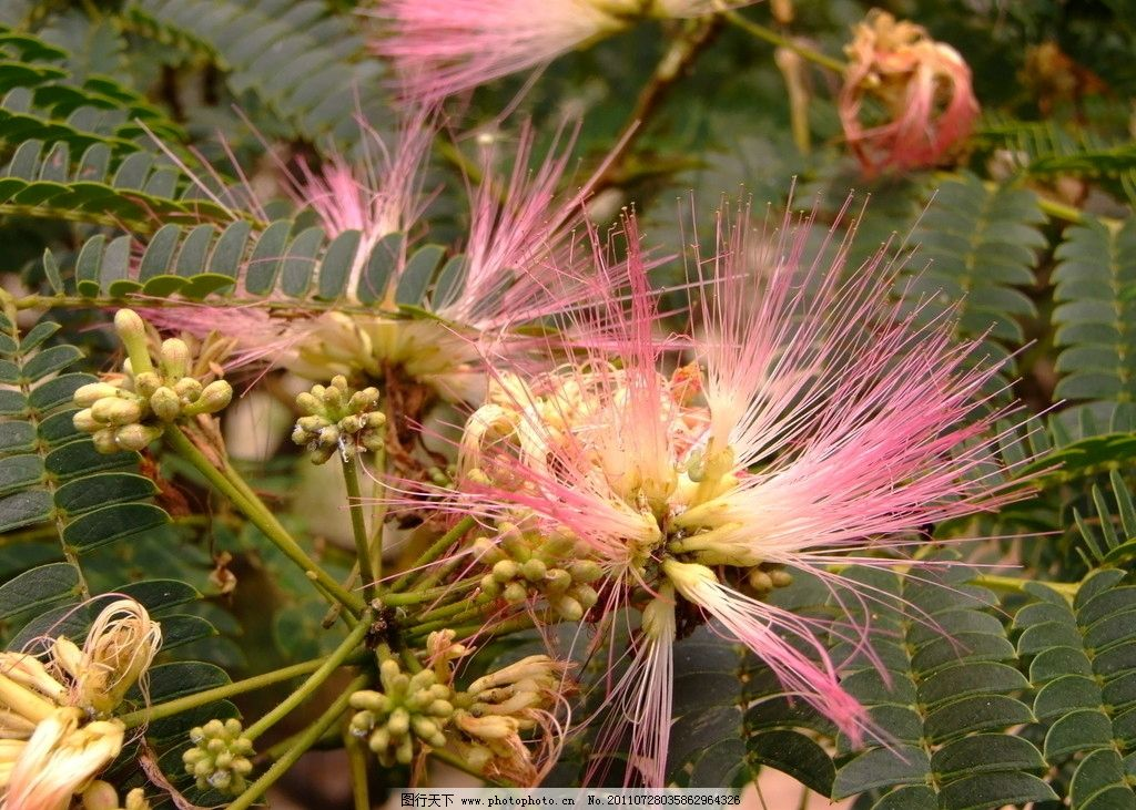 合欢树花图片