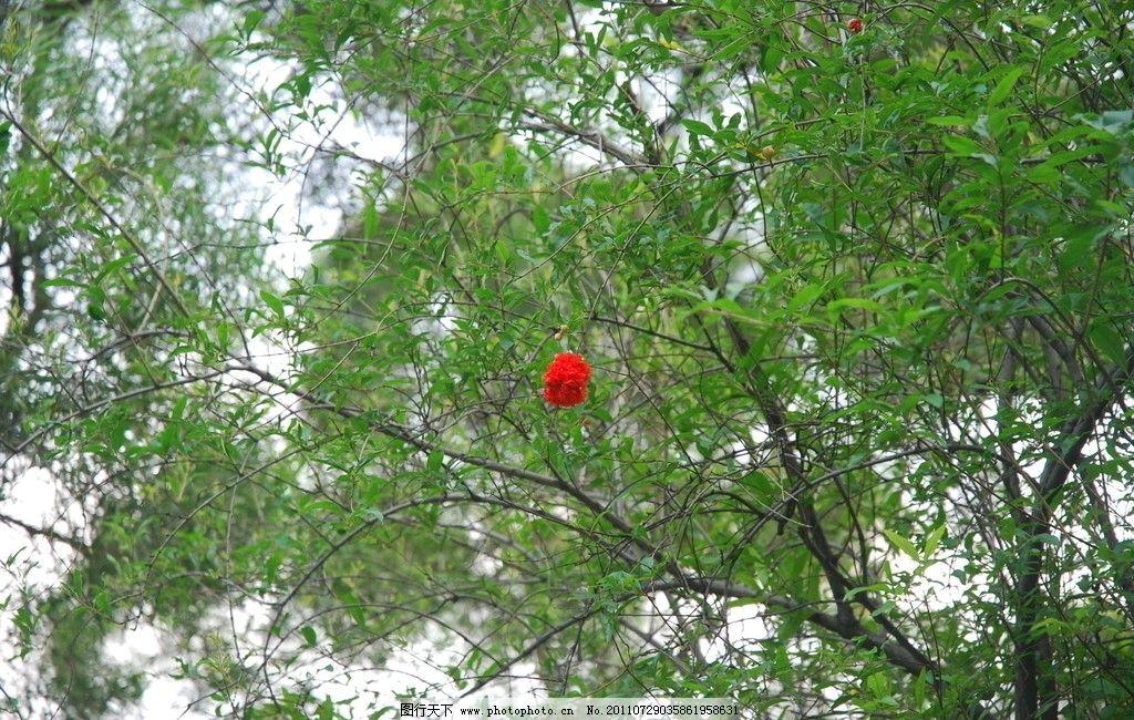 万绿丛中一点红 石榴花 红花 绿叶 树木树叶 生物世界 摄影 300dpi jp