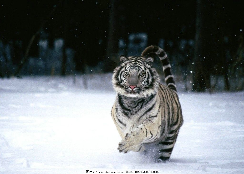 老虎 野生动物 生物世界 摄影